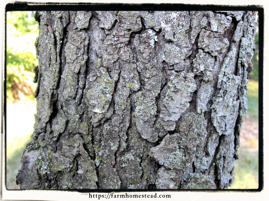 mature fissured bark of wild cherry tree