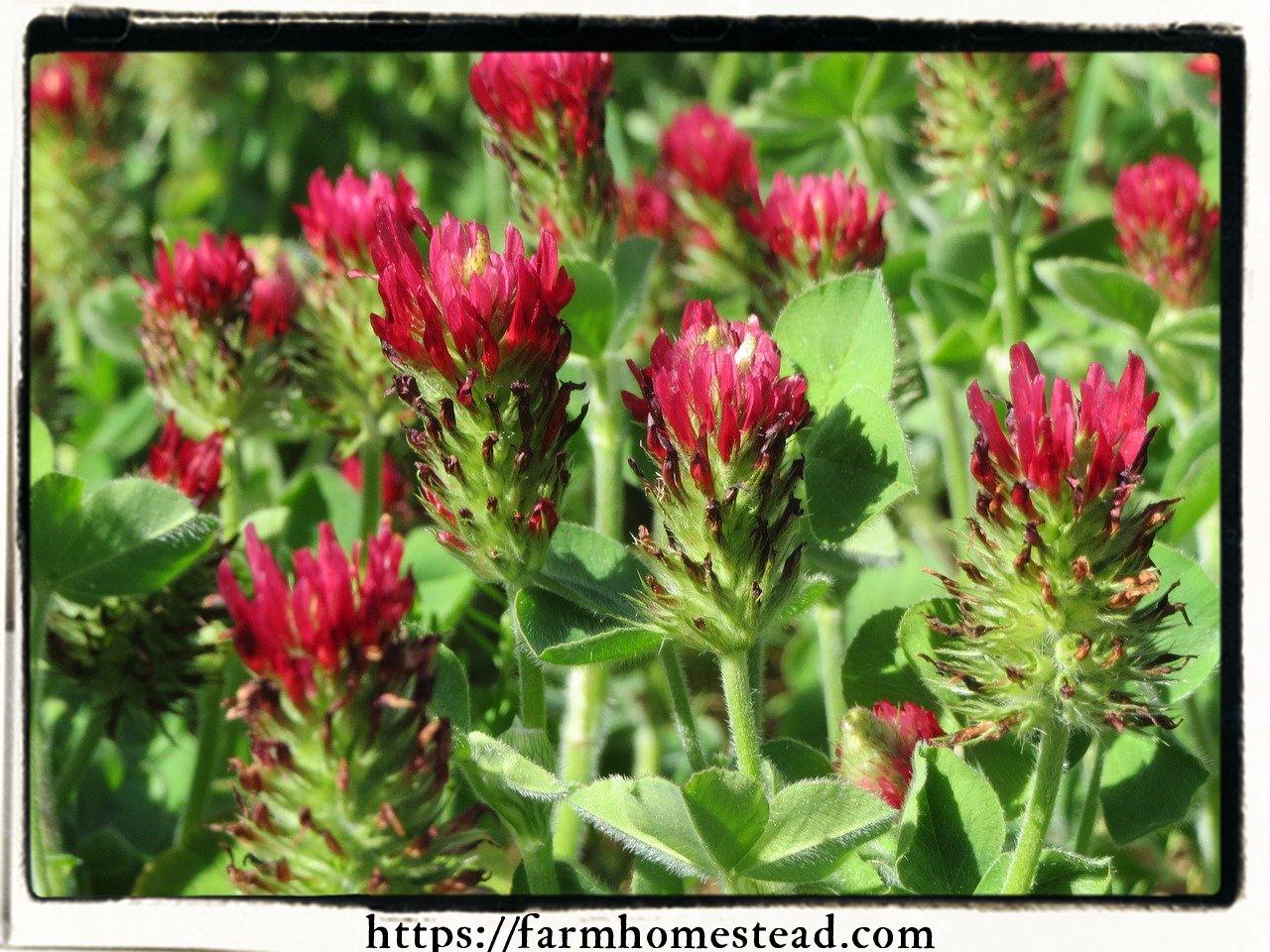Trifolium incarnatum- Crimson Clover