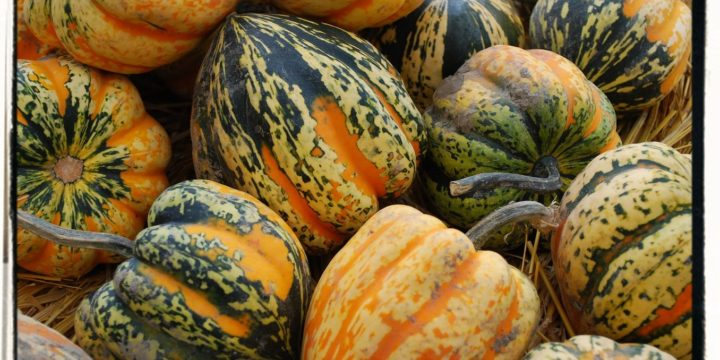 Harvesting and Storing Winter Squash