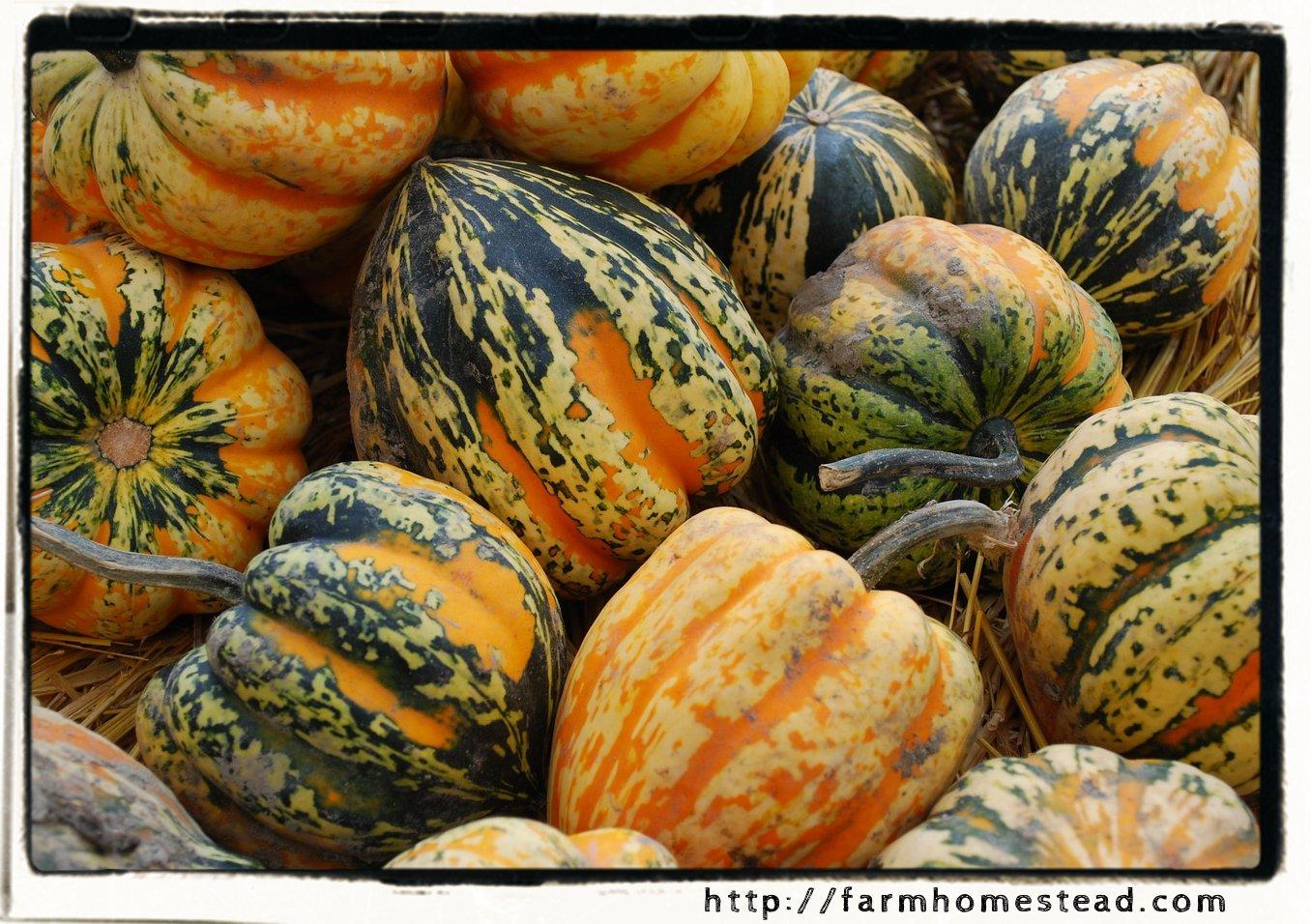 acorn squash harvest