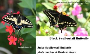 anise swallow tail and black swallowtail