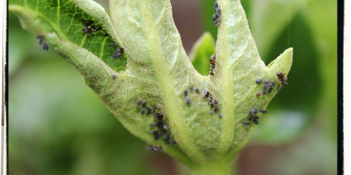 Tomatoes – Pests and Disease