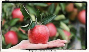 organic apple in hand