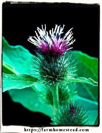 arctium lappa bloom