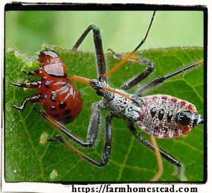 assassin bug ambushing a potato beetle larvae
