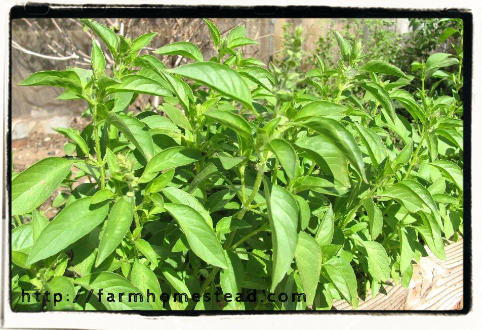 basil- citrus lemon or lime