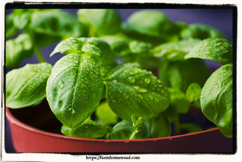 basil for indoor herb garden