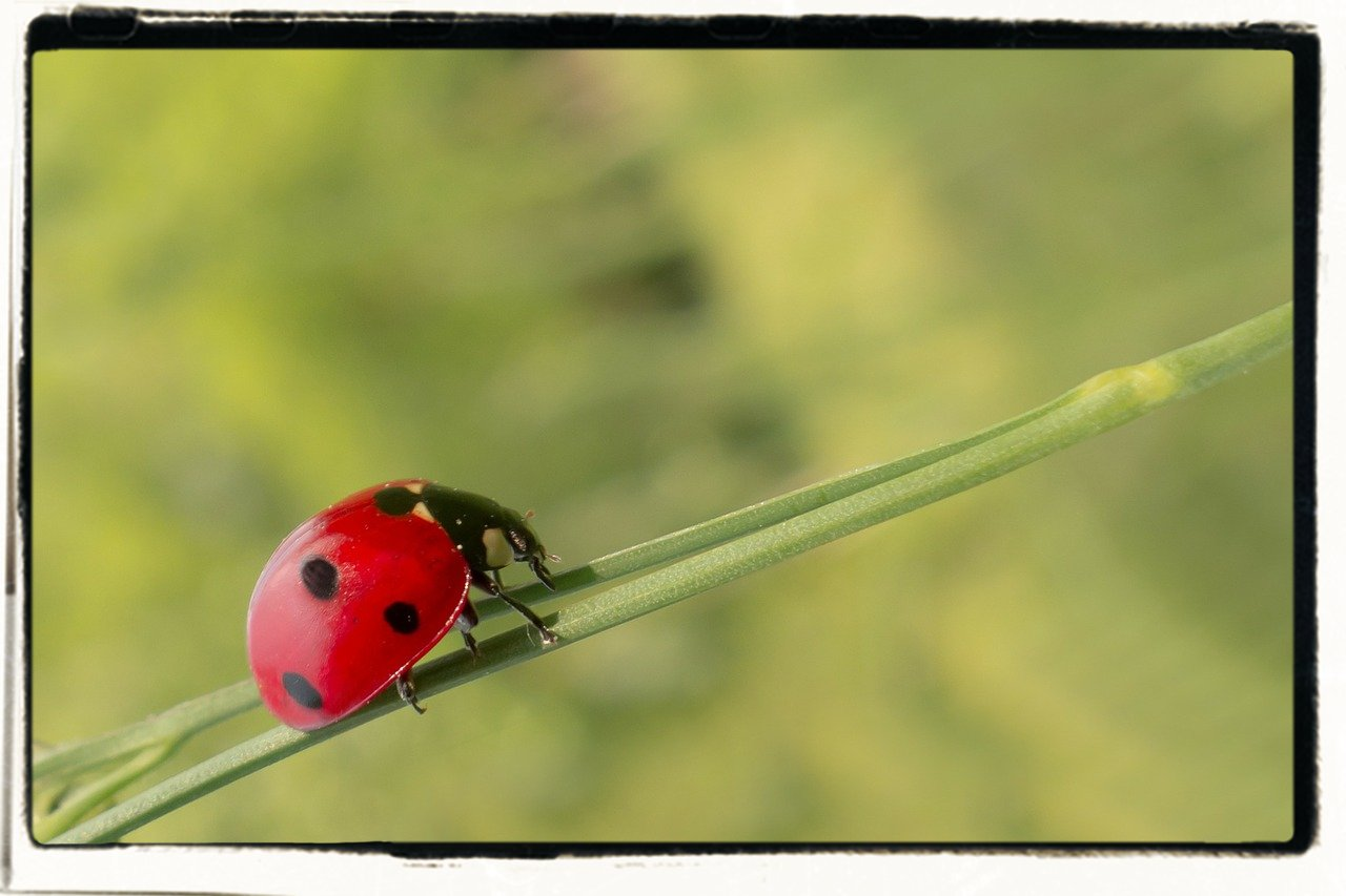 luring the beneficial lady bug into the garden