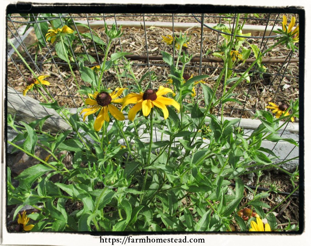 black eyed susan - rudbeckia blooming