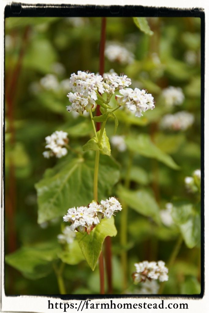 buckwheat in flower