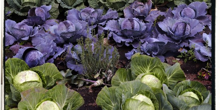 History of Cabbage and Kale or Coles
