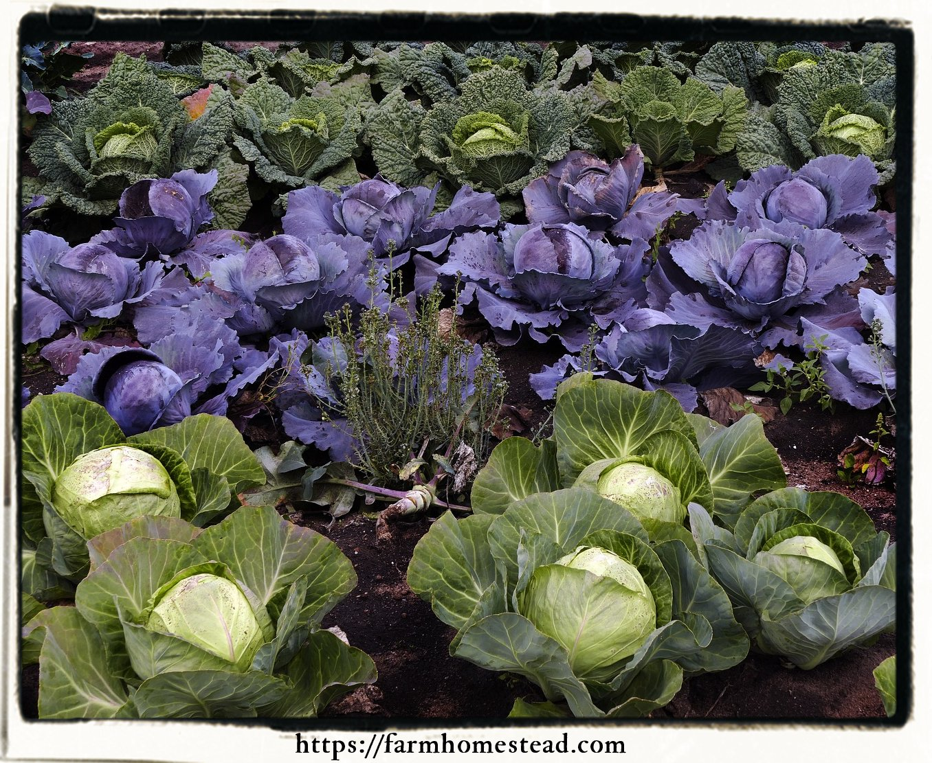 varieties of cabbages