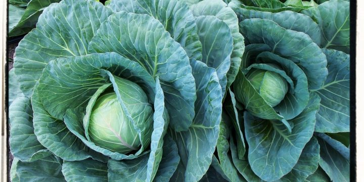 How to Grow Cabbage & Kale