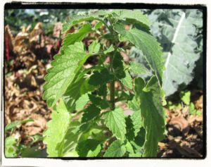 catnip plant with leaves