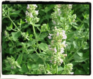 catnip flowering