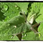 Catnip – Nepeta Cataria