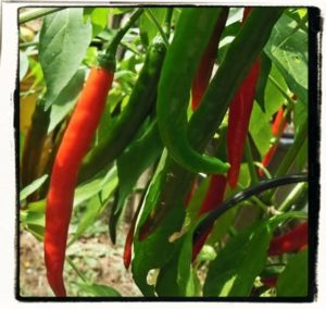cayenne peppers growing