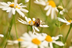 Chamomile is a great plant for pollinators!