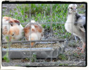 baby chicks eating