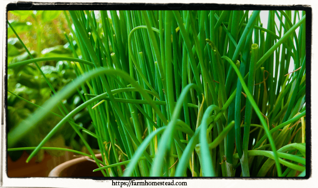 growing chives indoors