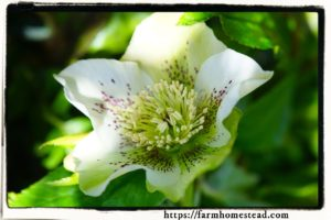 appreciating the winter garden christmas-rose-hellebore