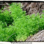 Cleavers – The Spring Tonic