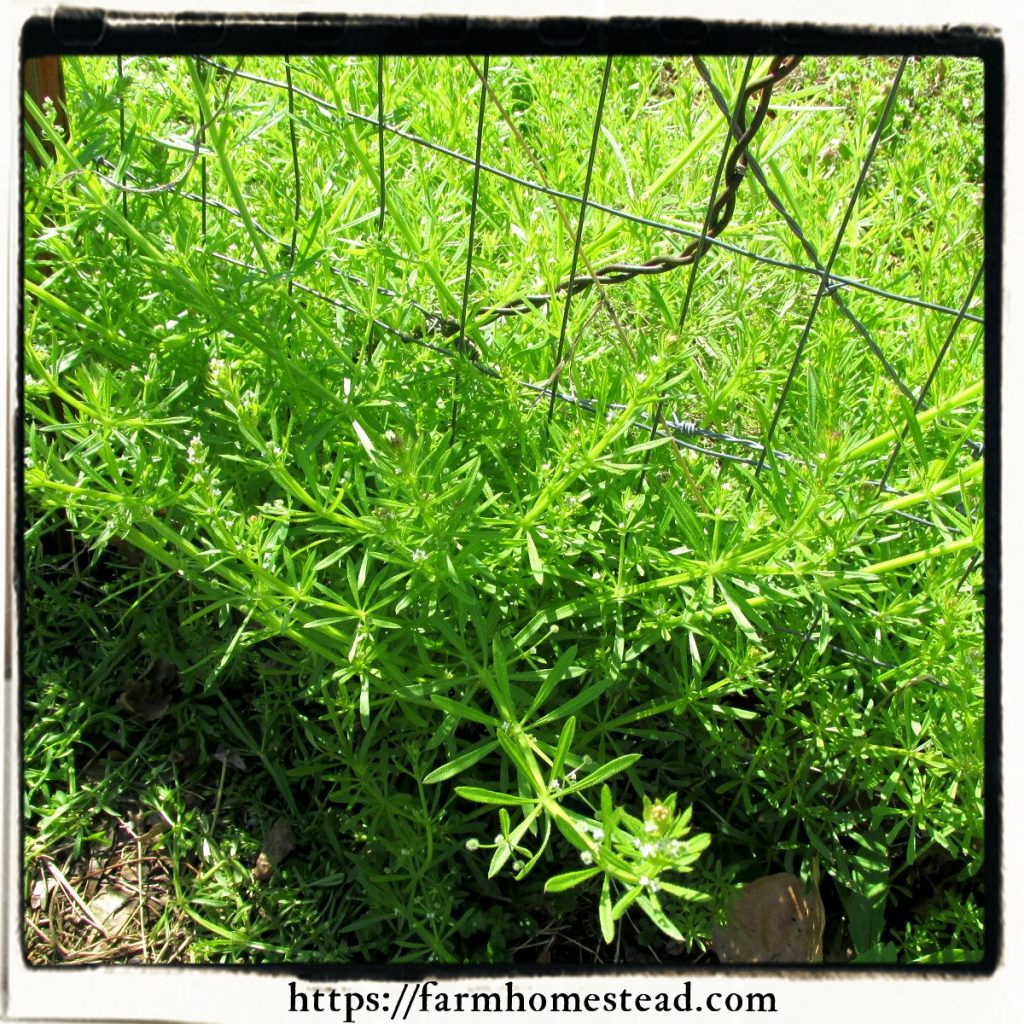 cleavers in our pasture