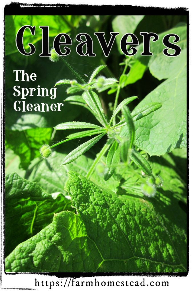 cleavers, the spring lymphatic cleaner