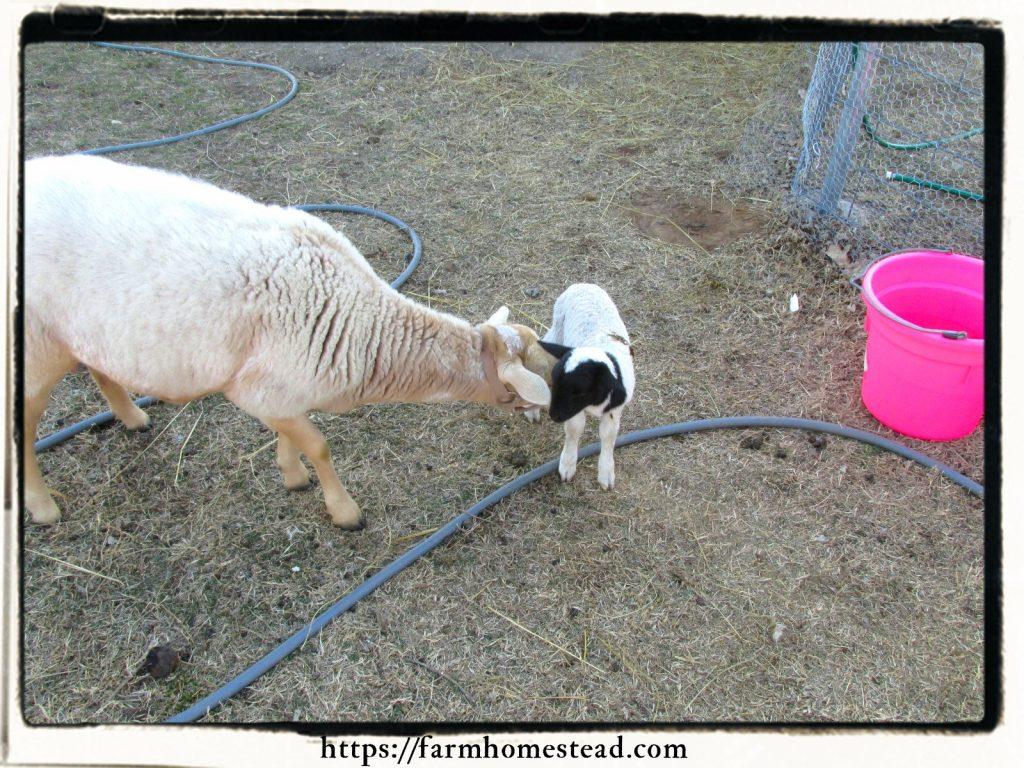 dorper lamb