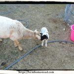 Our first lamb - Katahdin Dorper Cross