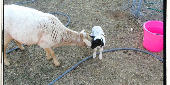 Our first lamb – Katahdin Dorper Cross