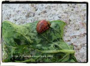 colorado potato beetle larvae