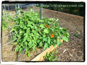 nasturtiums and tomatoes