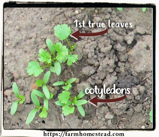 cotyledons and true leaves