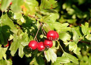 crataegus or hawthorn berries