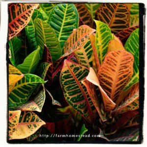 croton foliage