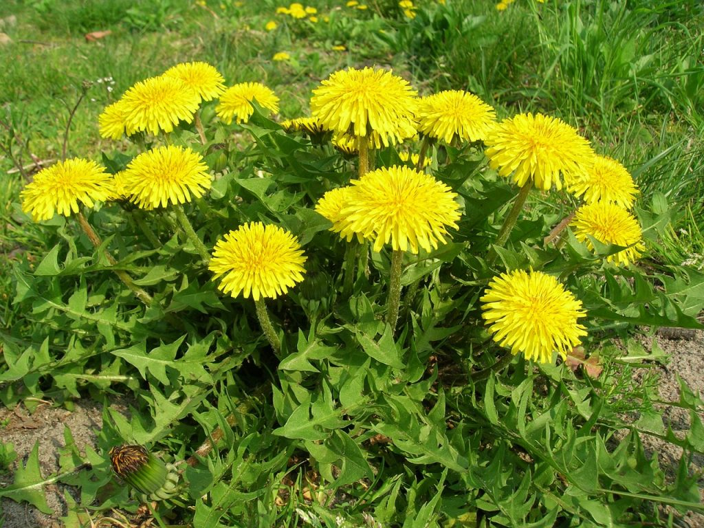 a bunch of dandelions
