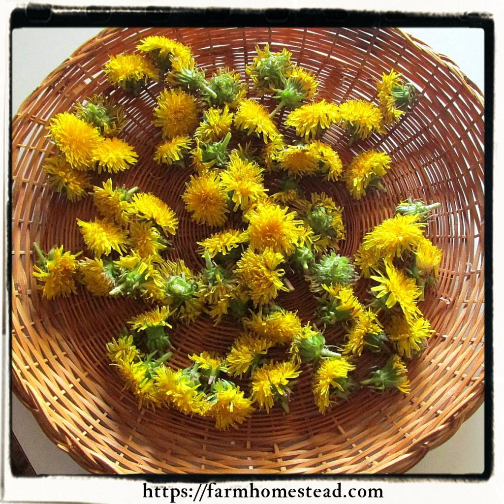 dandelion flowers drying