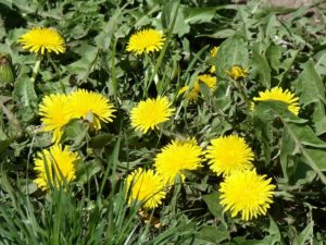 dandelion blooming in spring