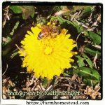 How To Make and Use Dandelion Flower Infused Oil