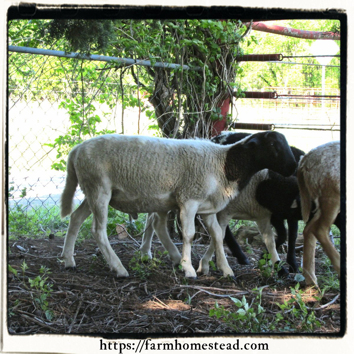 Our first lamb - Katahdin Dorper Cross - Farm Homestead