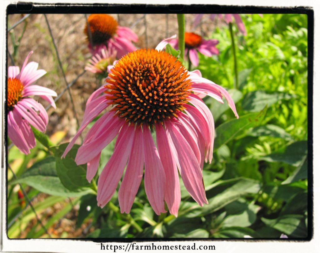 echinacea bloom