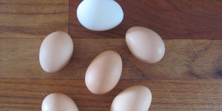 Backyard Laying Hens- Free Range Eggs, For Free!
