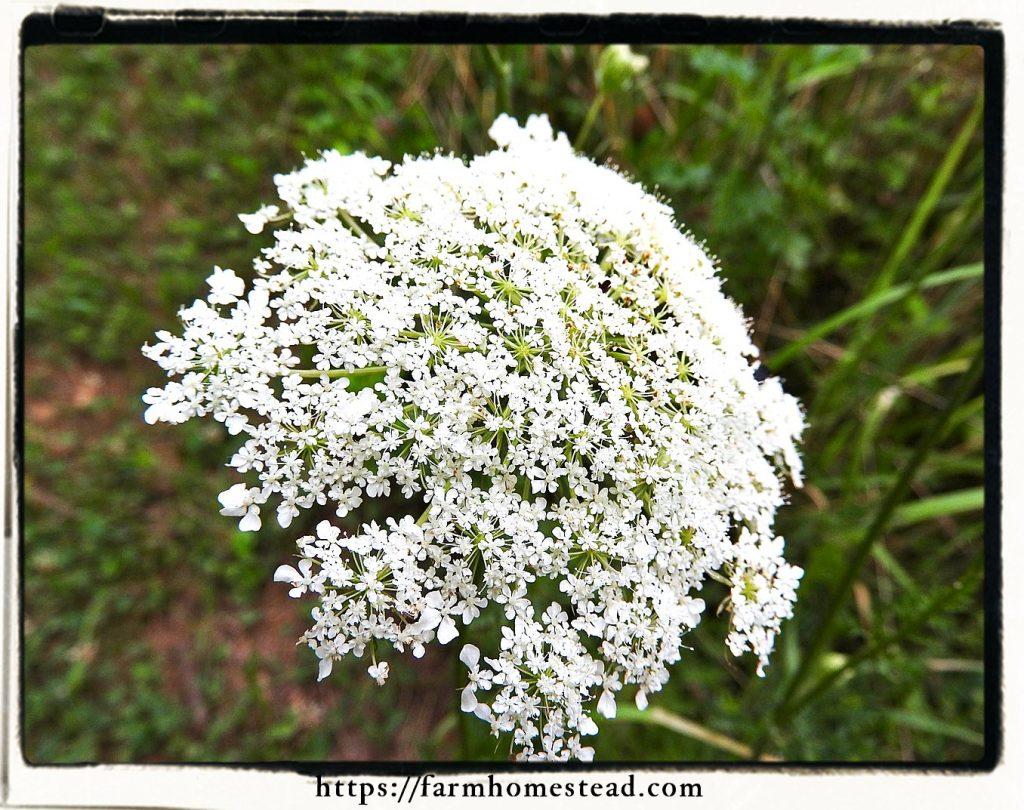 elderflower-sambucus-nigra