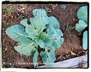 cabbage worm damage on cabbage