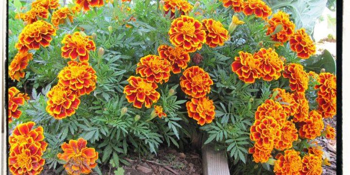 Botanical Name Flower Planting Schedule