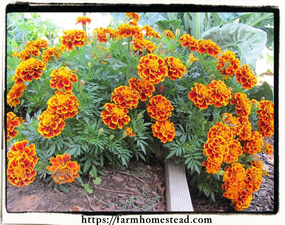 french-marigold-Tagetes-patula