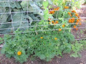 example of companion plants - marigold-peas-brassicas