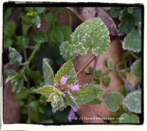 frost on dead nettle