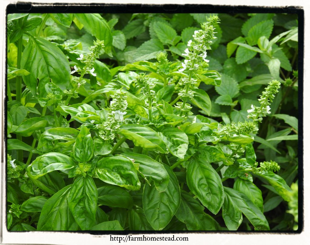 basil is a good herb for beginners